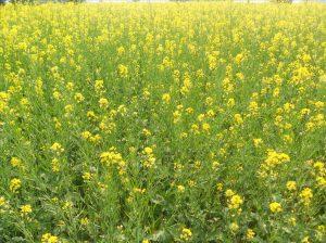 I.N.D.I.A. - Di miele, fiori di mostarda e altre storie